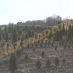 Thuja Anpflanzung